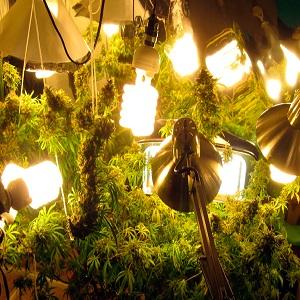 La mejor luz para el cultivo de marihuana for Leds para cultivo interior