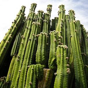 Cactus san pedro efectos y preparacion blog arcuma for Cactus variedades fotos