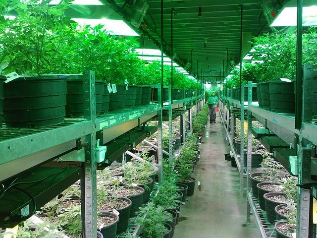 Cuanto tarda en crecer una planta de marihuana