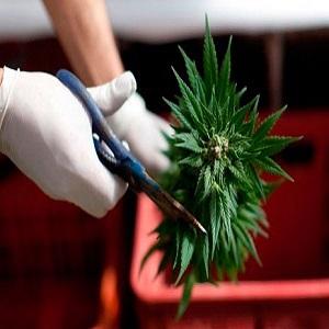 Cuándo Cosechar Las Plantas de Marihuana