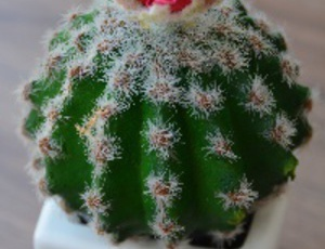 Cactus peyote: Cultivo, cosecha y preparacion