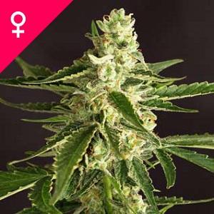 5 Maneras de Hacer Semillas de Marihuana Feminizadas