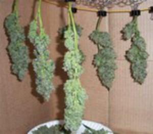 El Secado de la Marihuana
