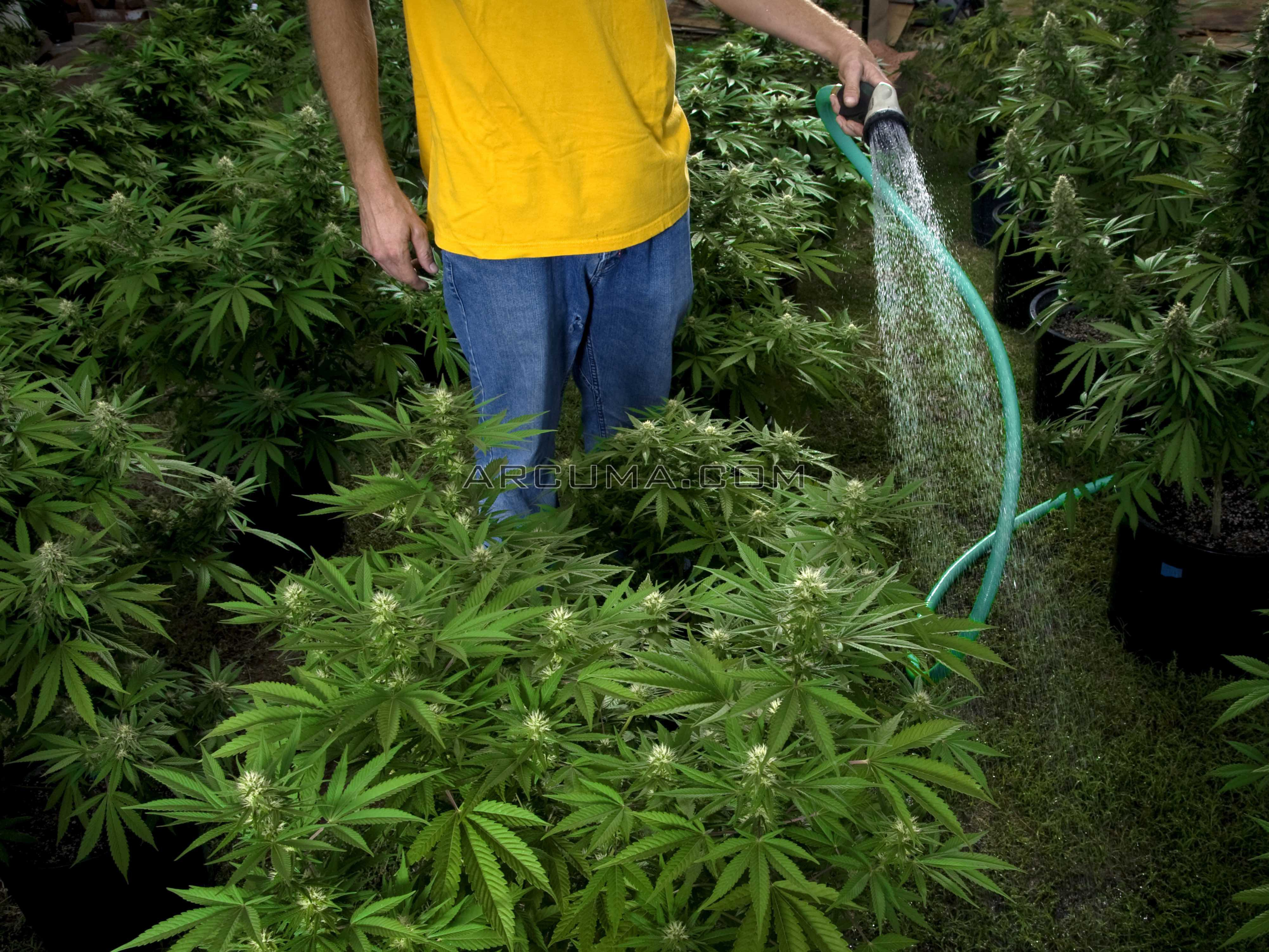 riego de la marihuana