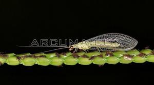 Chrysopidae 2