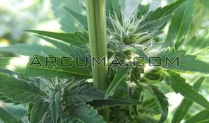 Planta hembra de marihuana