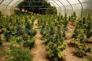 Cultivo de marihuana en invernadero
