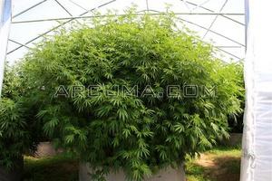 Marihuana gigante en invernadero