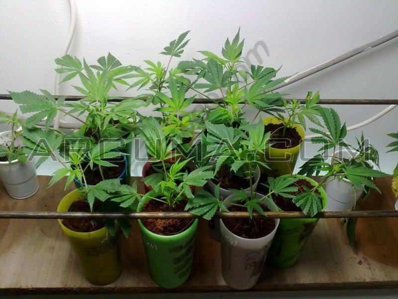 Cultivo de marihuana en sog sea of green for Plantation cannabis interieur sans materiel