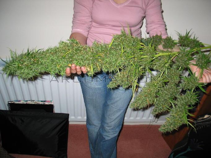 la marihuana más productiva en exterior