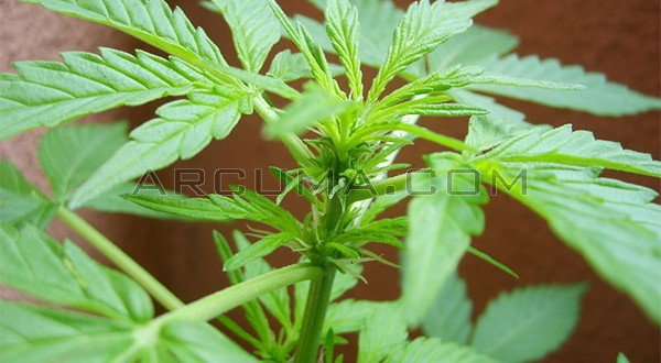 Floraci n parte 1 for Planta marihuana interior