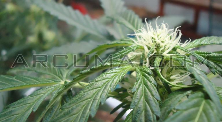 Cogollo de planta autofloreciente
