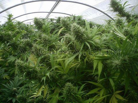 Marihuana floracion