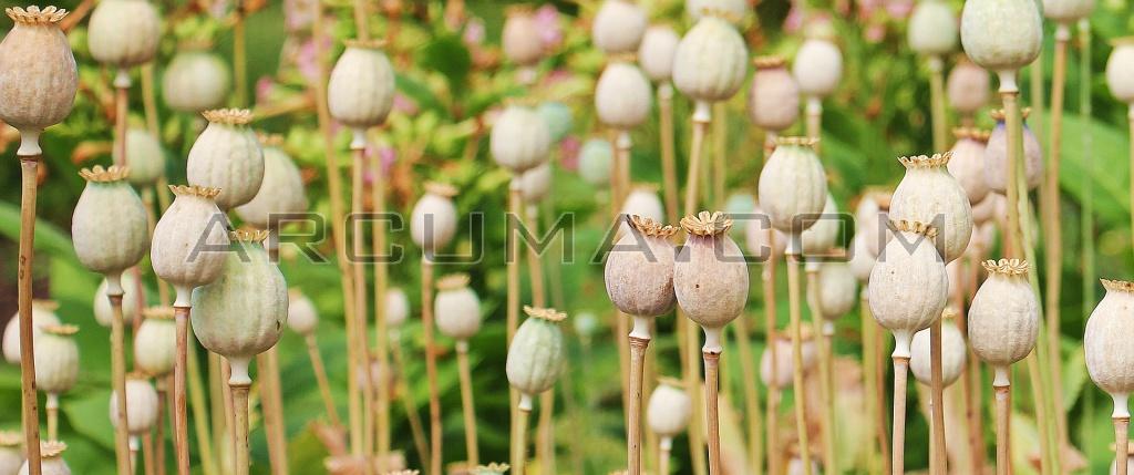 Cultivo opio