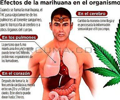 efectos de la marihuana en el organismo