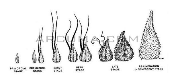 Desarrollo de la preflor hembra