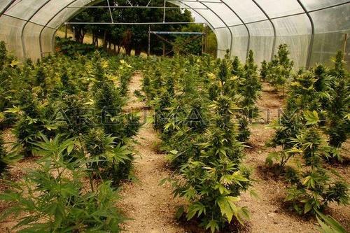 Como cultivar marihuana en invernadero blog arcuma for Plantas para invernadero