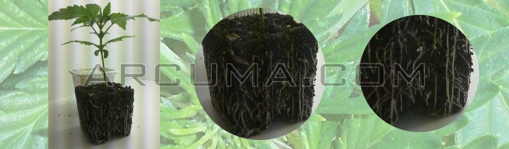 Raices de una planta de marihuana