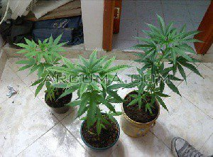 Plantar marihuana en casa