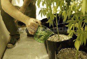 Regar semillas de marihuana