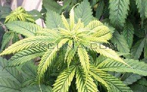 hojas amarillas por falta de zinc