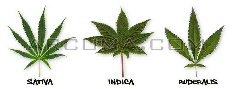 Tipos de hojas de marihuana
