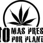 Marihuanillo