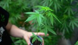 Marihuana-Droga-AFP.thumb.jpg.edd8cf6d8eb20241f332b23a24f2644f.jpg
