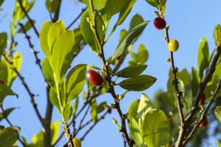 Semillas de coca_Hojas de coca_Coca seeds_Coca leafs_Erythroxylum coca_8.JPG