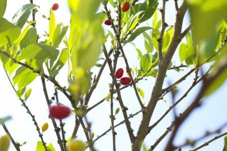 Semillas de coca_Hojas de coca_Coca seeds_Coca leafs_Erythroxylum coca_6.JPG