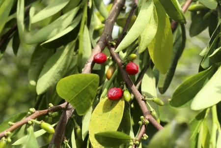Semillas de coca_Hojas de coca_Coca seeds_Coca leafs_Erythroxylum coca_22.JPG