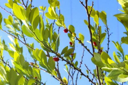 Semillas de coca_Hojas de coca_Coca seeds_Coca leafs_Erythroxylum coca_5.JPG